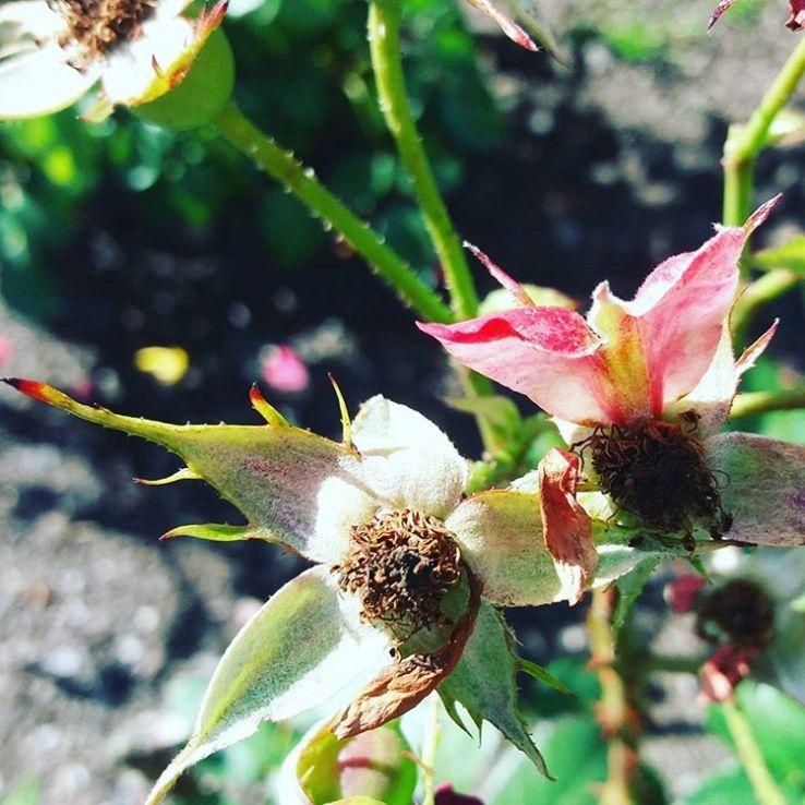 Ja ursäkta för ännu en påminnelse men nu är det HÖST. En härlig årstid, om du frågar mig :) #höst #rosor #blommor
